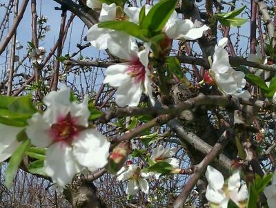 Almendro Primavera2014-1